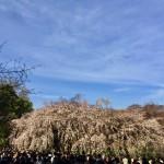 新宿御苑に桜をみにいく